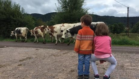 Face aux vaches dans les Vosges